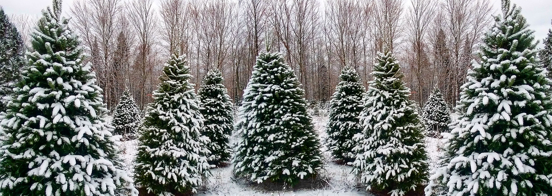 Christmas Trees at Johnsons Side Hill Farm Mapleton, ME
